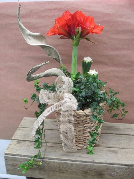 Amaryllis planter for Amaryllis plantation en pot