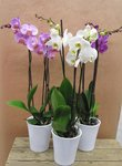 Butterfly orchid, 3 stems